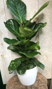 Fiddle Leaf Ficus Lyrata Column Plant