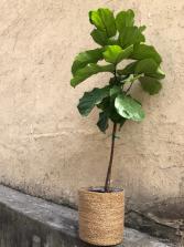 Fiddle Leaf Ficus Lyrata Standard Plant