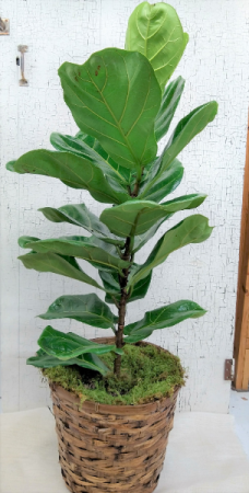 "Fiddle Leaf Fig 10"" Container"