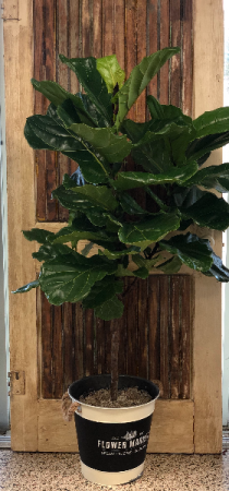 Fiddle Leaf Fig  in New Braunfels, TX | Petals To Go