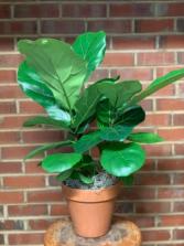 """Fiddle Leaf Fig (6"""" pot)"""