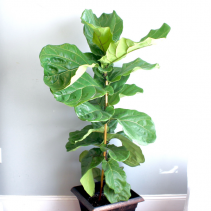Fiddle Leaf Fig 'Ficus Lyrata'