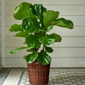 Fiddle-Leaf Fig (Ficus lyrata) House Plant