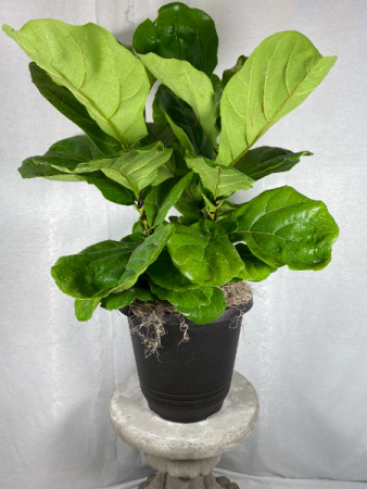 Fiddle-Leaf Fig Fiddle-Leaf Fig