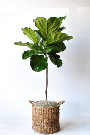 Fiddle Leaf Fig Green plant