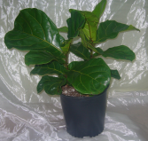 FIDDLE LEAF FIG House Plant