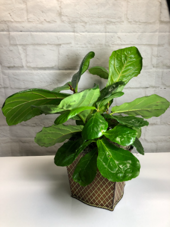 Fiddle Leaf Fig  in Brown Criss Cross Tin