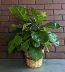 Fiddle Leaf Fig Plant    Ficus lyrata