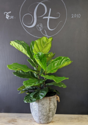 Fiddle leaf fig Plant in Milton, FL | PURPLE TULIP FLORIST INC.