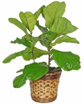 Fiddle Leaf Fig Plant Plant