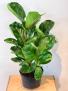 Fiddle leaf Fig Potted plant