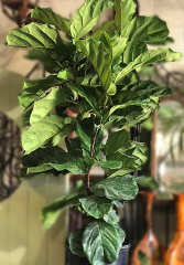 Fiddle Leave Fig Bush Ficus Lyrata