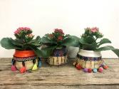 Fiesta Kalanchoe mini pots Plants