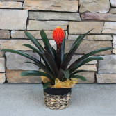 Fire Ball Bromeliad Blooming House Plant