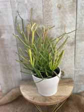 Firestick Pencil Cactus Plant in ceramic pot
