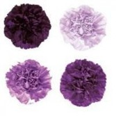 Florigene Carnations