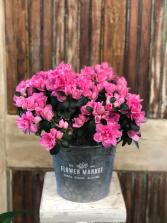 Flowering Azalea