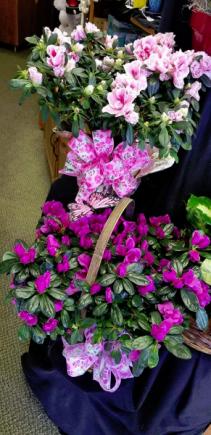 Flowering Azalea Flowering Plant