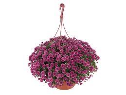 Flowering Chrysanthemum Hanging Basket Hanging Basket