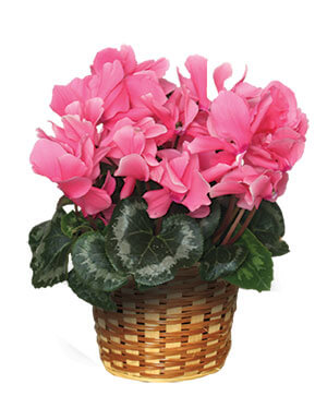 FLOWERING CYCLAMEN 6-inch Blooming Plant in Astoria, OR | BLOOMIN CRAZY FLORAL