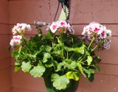 Flowering Geranium  Hanging Basket