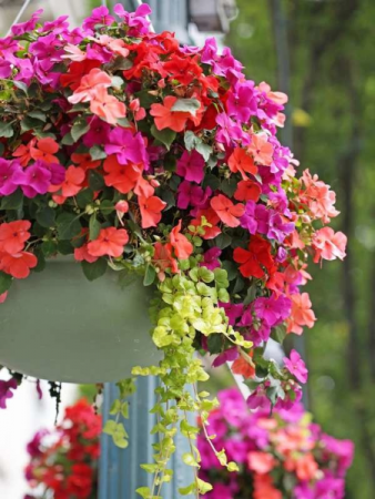 Flowering Hanging Basket  Outdoor