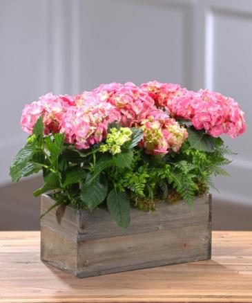 FLOWERING HYDRANGEA GARDEN