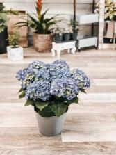 Blooming Hydrangea Blue Plant