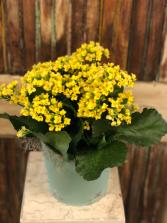 Flowering Kalanchoe