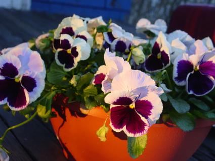 Flowering Pansy Bowl