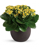 Forever Yellow Kalanchoes Plant Flower