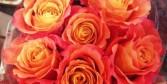 Free Spirit  Garden Rose
