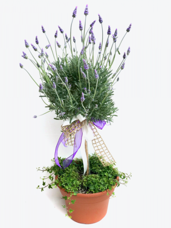 French Lavender topiary  Outdoor planter