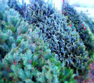 Fresh Canadian Christmas Trees FREE Local Delivery  in Fair Lawn, NJ | Dietch's Florist