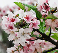 Fresh Cherry Blossom Branches These are sure to delight while we're all staying home more nowadays! Watch these beautiful, cotton candy-like blooms develop and burst into colour! Sold by the stem, 5 stem bundles, & 10 stem bundles. Get yours today! in St John's, NL | WATERFRONT FLOWERS