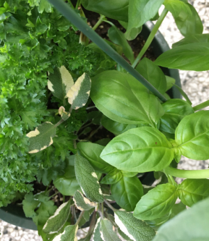 Fresh Herbs  Combo Basket  in South Milwaukee, WI | PARKWAY FLORAL INC.