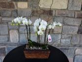Fresh Orchid Plant