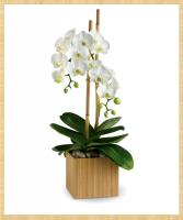 Fresh Phalaenopsis Orchid Plant Plant