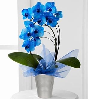 Fresh Tinted Blue orchid plant