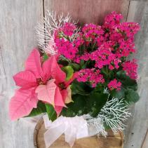 Frosty Pink Planter Plant