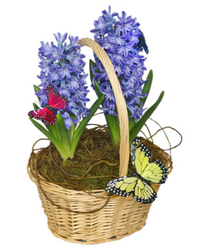 EARLY SPRING HYACINTH 6-inch Potted Plant in Ozone Park, NY | Heavenly Florist