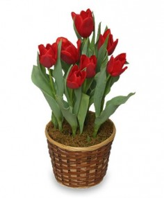 POTTED SPRING TULIPS 6-inch Blooming Plant