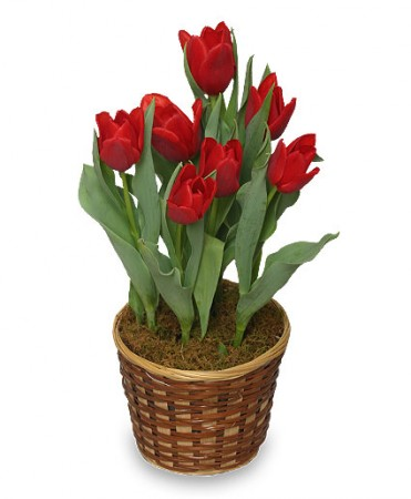 Potted spring tulips 6 inch blooming plant in bedford nh potted spring tulips 6 inch blooming plant mightylinksfo