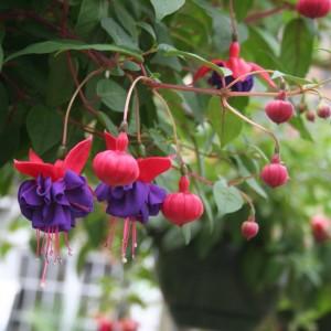 Fuchsia Annual