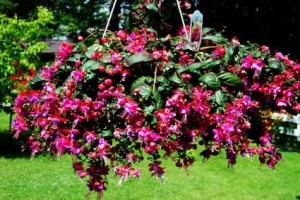 Fuchsia Hanging Basket  in Osceola Mills, PA | COLONIAL FLOWER & GIFT SHOP