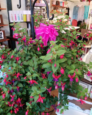 Fuchsia Hanging Basket Plant in Bryson City, NC | Village Florist & Christian Book Store