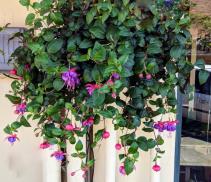 Fuchsia Hanging Basket Plant