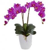 Fuchsia Orchid Plant Plant