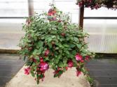Fuchsia plant color may vary