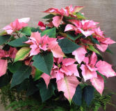 Full Of Cheer Poinsettias Potted